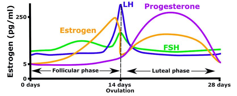 cycle-hormones
